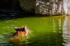 Indochinese tiger is swimming in the stream Stock Photos