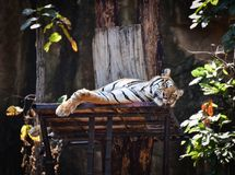 Indochinese tiger. Relax On the tree at zoo Royalty Free Stock Image