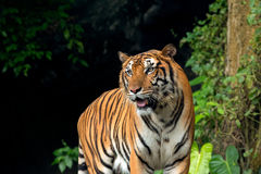 Indochinese Tiger standing in front of waterfall Stock Photos