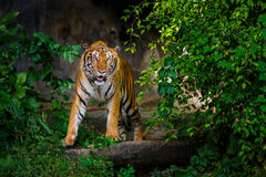 Indochinese tiger. Walking on the cave floor Stock Photography