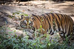 Indochinese tiger. Walking disguise find food Royalty Free Stock Images