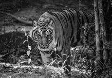 Indochinese tiger. Walking disguise find food Royalty Free Stock Photography