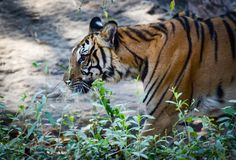 Indochinese tiger. Walking disguise find food Royalty Free Stock Photos