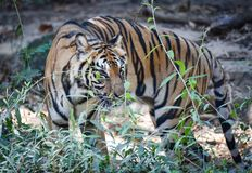 Indochinese tiger. Walking disguise find foodn Stock Images