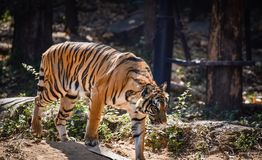 Indochinese tiger. Walking at the zoo Stock Photos