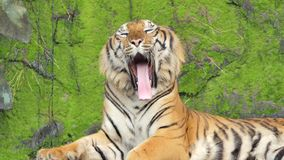 Indochinese tiger was yawning in topical rain forest.