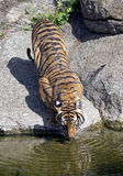 Indochinese tiger 1 Royalty Free Stock Photography