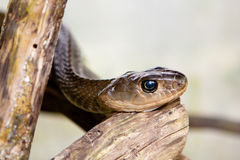 Indochinese tjalla ormen Arkivbilder