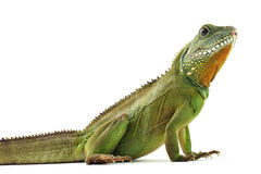Indochinese water dragon. On a white background Royalty Free Stock Photo