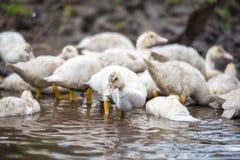 Indodas los pequeños de un bajío se lavan en el río Imagenes de archivo