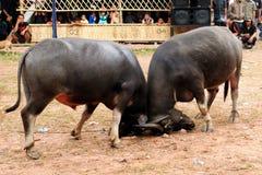 Indonésia - luta tradicional do búfalo Foto de Stock