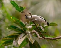 Indonésio starling-2879 Imagem de Stock Royalty Free
