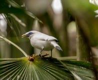 Indonésio starling-2943 Imagem de Stock