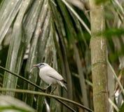 Indonésio starling-2897 Fotografia de Stock