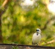 Indonésio starling-8780 Foto de Stock Royalty Free