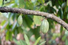 Indoneisa Tropikalny Zielony kakao zdjęcia stock