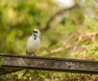 Indones starling-8781 Fotografering för Bildbyråer