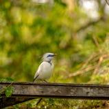 Indones starling-8765 Royaltyfria Foton