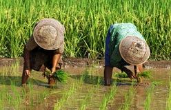 Indonesië, Java: Het werk in ricefield Stock Foto's