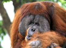 Indonesië; sumatra; Orang-oetan Utan Royalty-vrije Stock Fotografie