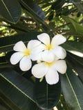 Indonesia, Bali, Nusa-Penida Island, White Frangipani - divine smell! stock image