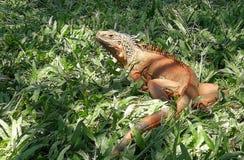 Indonesia Bali Reptile Park Rimba Reptil Tropical Animals Giant Iguana