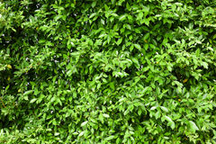 Indonesia banyan tree leaves background. Dense green leaves wall stock image