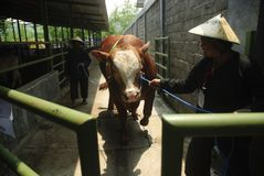 INDONESIA CATTLE IMPORT Stock Photography