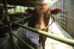 INDONESIA CATTLE IMPORT Royalty Free Stock Photos