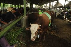 INDONESIA CATTLE IMPORT Stock Photo