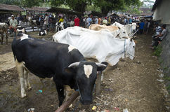 INDONESIA CATTLE MARKET Royalty Free Stock Photo