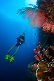 Indonesia. Diver in the depth watching coral reef wall. Bali, Indonesia Royalty Free Stock Images
