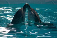 INDONESIA DOLPHIN CIRCUS Stock Images