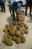 INDONESIA DURIAN HARVESTING Royalty Free Stock Photos