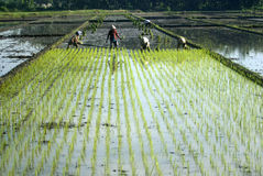 INDONESIA ECONOMY RESTRUCTURING BENEFIT. Rice farmers tend their field at Solo, Java, Indonesia. Global debt ratings agency Fitch Ratings expects Indonesia's Royalty Free Stock Photos