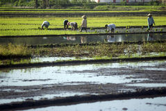 INDONESIA ECONOMY RESTRUCTURING BENEFIT. Rice farmers tend their field at Solo, Java, Indonesia. Global debt ratings agency Fitch Ratings expects Indonesia's Stock Photo