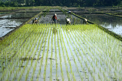 INDONESIA ECONOMY RESTRUCTURING BENEFIT. Rice farmers tend their field at Solo, Java, Indonesia. Global debt ratings agency Fitch Ratings expects Indonesia's Stock Images