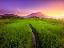 Indonesia för fält för skönhetmorgonrisfält panorama arkivfoto
