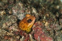 Indonesia för lembeh för dykapparatdykning undervattens- kastanjebrun jawfish Royaltyfri Bild