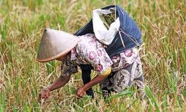 Indonesia, Java: Agricultura del arroz Imágenes de archivo libres de regalías
