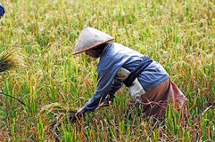 Indonesia, Java: Agricultura del arroz Fotos de archivo libres de regalías