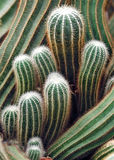 Indonesia, Java: Cactus Royalty Free Stock Photography