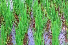 Indonesia, Java: Campo del arroz Foto de archivo libre de regalías