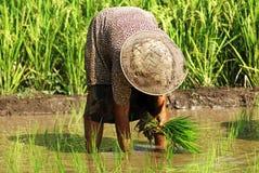 Indonesia, Java: Trabajo en ricefield imagen de archivo libre de regalías