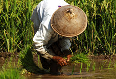 Indonesia, Java: Work in ricefield Royalty Free Stock Image