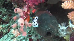 Indonesia lembeh strait scuba diving underwater stock footage