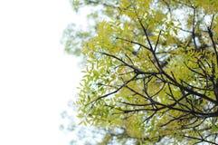 16-04-2018 Indonesia, liście swietenia macrophlla i nieba drzewo Obrazy Stock