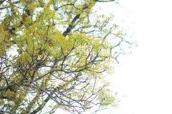 16-04-2018 Indonesia, liście swietenia macrophlla i nieba drzewo Zdjęcia Royalty Free