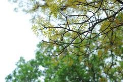 16-04-2018 Indonesia, liście swietenia macrophlla i nieba drzewo Zdjęcie Royalty Free