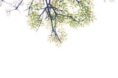 16-04-2018 Indonesia, liście swietenia macrophlla i nieba drzewo Obraz Royalty Free